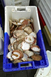 Fishers let Venus shells dry in stapable plastic boxes to sell them to restaurants for decoration, Nieuwport, Belgium: Pile of empty Venus shells