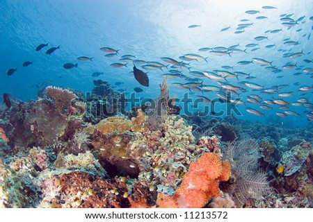 fishes at a coral reef. Sipadan. Indonesia