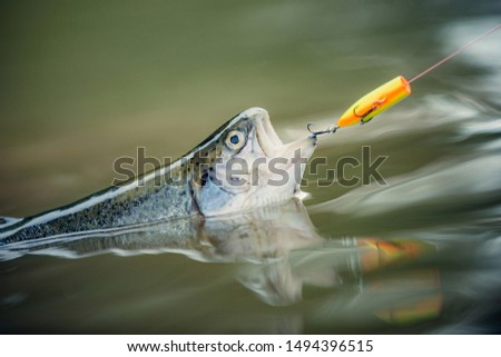 Fishes catching hooks. Holding brown trout. Fishing - relaxing and enjoying hobby. Fisherman and trout #1494396515