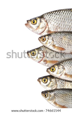 Fishes isolated on white background