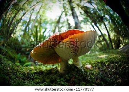 stock-photo-fisheye-view-of-fly-agaric-in-forest-11778397.jpg