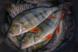 Fishing background of live perch fish
