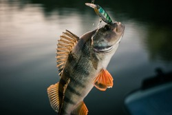 Fishing background. Trophy perch.