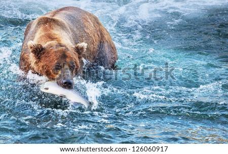 fishing bear in Alaska