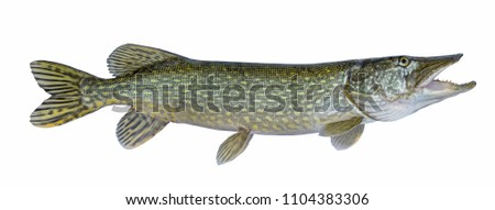 Fishing. Big live pike fish isolated on white background #1104383306