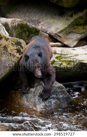 Fishing black bear standing at the edge of a river