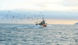 Fishing boat surrounded by black-headed gulls in coming back to the port at the sunset