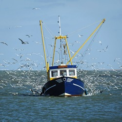 Fishing boat surrounded by black-headed gulls, Netherlands