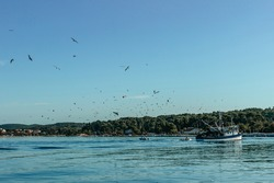 Fishing boat with seagulls flying around. Ship sailing to port.Commercial fishing boat in Croatia. Ship surrounded by wild birds. Blue sea and clear sky,sunny summer day.Fisherman returning home