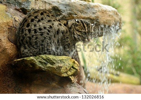 Fishing Cat By a Waterfall