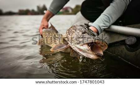 Fishing. Catch and release trophy Pike. Сток-фото ©