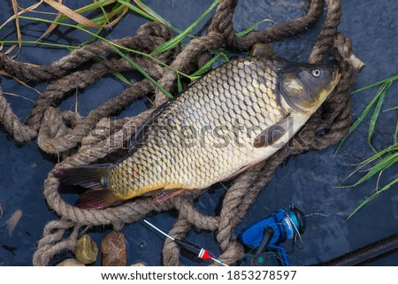 Fishing catch. The Common Carp, Cyprinus Carpio. In Central Europe, fish is a traditional part of a Christmas Eve dinner. With fishing rod ストックフォト ©