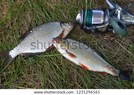 Fishing concept. Freshwater fish and fishing rods with reels on green grass. Single freshwater white bream or silver bream, roach fish on green grass.