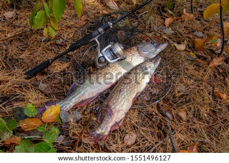 Fishing concept, trophy catch - two big freshwater pikes fish know as Esox Lucius just taken from the water on keep net. Freshwater Northern pikes fish know as Esox Lucius and fishing equipment #1551496127