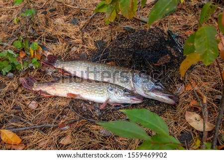 Fishing concept, trophy catch - two big freshwater pikes fish know as Esox Lucius just taken from the water on keep net. Freshwater Northern pikes fish know as Esox Lucius and fishing equipment #1559469902