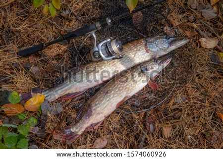 Fishing concept, trophy catch - two big freshwater pikes fish know as Esox Lucius just taken from the water on keep net. Freshwater Northern pikes fish know as Esox Lucius and fishing equipment  #1574060926