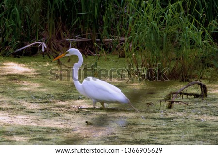 Great Egret On Prowl >> Shutterstock Puzzlepix
