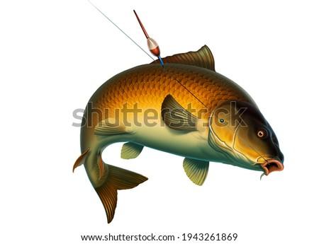 Fishing for Common Carp with a float bait. (koi) realism isolate illustration. Fishing for big carp, feeder fishing, carp fishing.