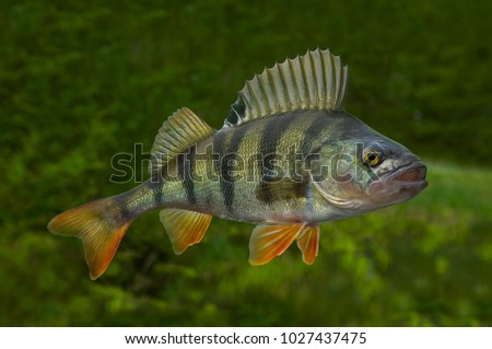 Photo of  Fishing. Live perch fish isolated on natural green background