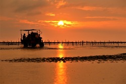Fishman drove a tractor and worked in oyster farm under sunset moment in intertidal zone near a fishing port in central Taiwn