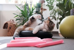 Fitness equipment at home - ball, foam pads, pink tape for exercise lying of floor. A small kitty among them. This is the Exotic cat breed. It is similar to a Persian cat, but has short hair.