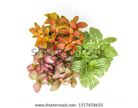 Fittonia potted houseplant colorful mix flower view from above isolated on white background