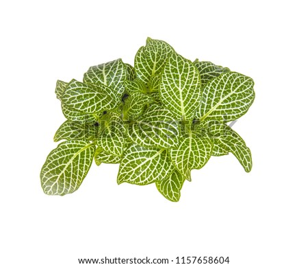 Fittonia potted houseplant green flower view from above isolated on white background