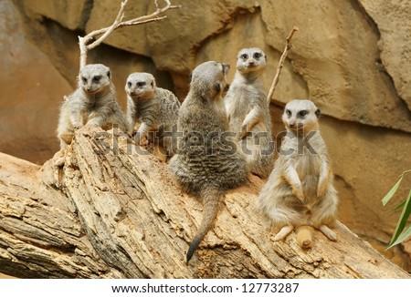 five adorable meerkats - stock photo