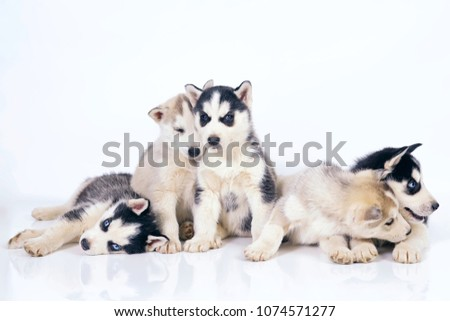 Free Photos Cute Little Baby Puppy Siberian Husky Posing On A White