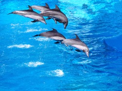 Five beautiful dolphins jumping over water in the pool for nature background with copy space.