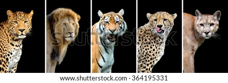 Five big wild cats (leopard, tiger, lion, cheetah, puma) #364195331