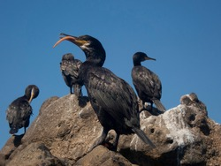 Five black cormorant sunbathing over a rock with a blue sky background, isolated Phalacrocorax aristotelis with its tongue out