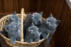 Five British purebred kittens in a basket look around