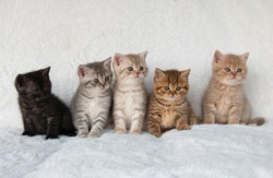 five british shorthair kittens family on a white background