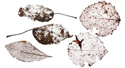 five brown dead leaves isolated on white background
