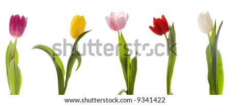 Five color tulips. Isolated on white