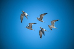 Five common tern flying in the blue sky, Bird ,aves, white bird - Image