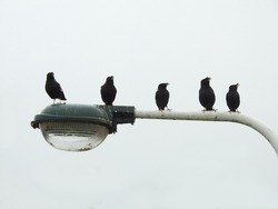 Five Crested Myna (a species of Taiwan endemic bird) are standing on a street lamp.