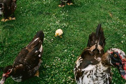 five day old little chick or duckling surrounded by adult ducks on green grass background. Concept of emancipation.