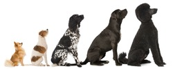 Five dogs isolated on white