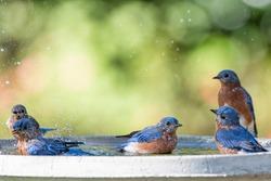Five Eastern Bluebirds Cooling Off in Bird Bath on a Hot Summer Day in Louisiana