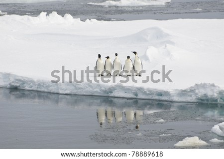 Five emperor penguins standing at the edge of an ice-floe, Antarctica.