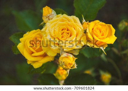 Free photos yellow flower 5 petals avopix five flowers yellow rose in drops of morning dew and the soft light on blurred background mightylinksfo