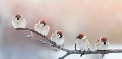 five funny little birds sparrows sitting on a branch in winter garden, hunched