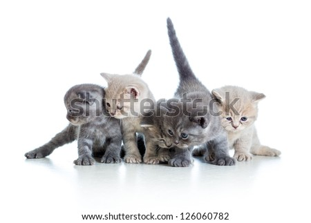 five funny Scottish kittens isolated on white background