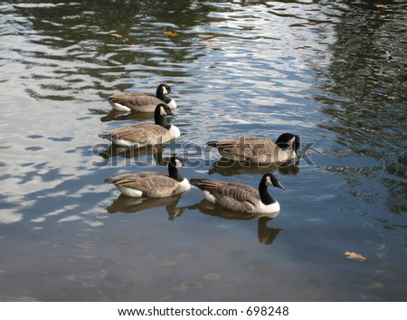 five geese on water