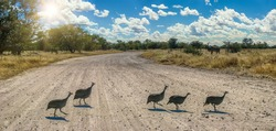 five guineafowl birds crossing fast the road in the African bush