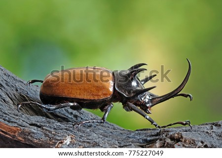Five-horned rhinoceros beetle (Eupatorus gracilicornis) also known as Hercules beetles, Unicorn beetles, or Horn beetles. Selective focus, blurred nature green background.