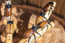 Five Horned Rhinoceros beetles also known as Hercules beetles, Unicorn beetles or Horn beetles (Eupatorus Gracilicornis) are perched on the log