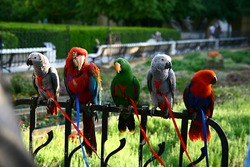five large parrots of different colors, sitting on a leash, on the fence in the park